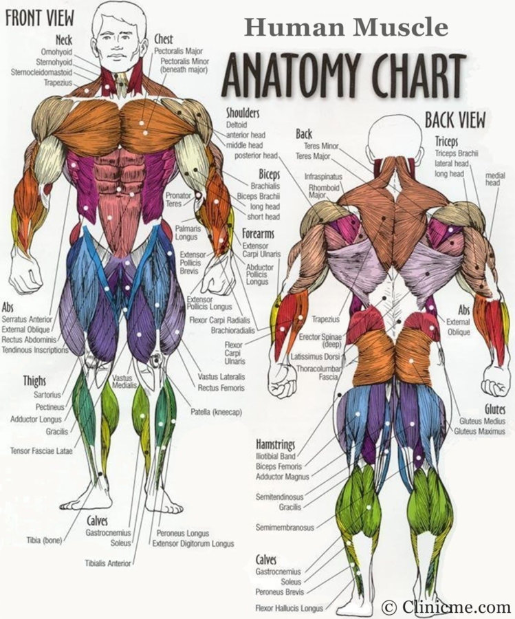 major-muscle-groups-anatomy-body-muscle-groups-diagram-diagram-of-body-muscles-human-muscle.jpg