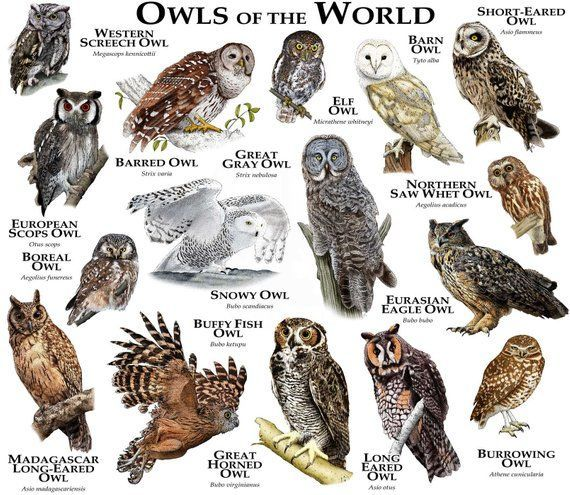 Owls of The World Poster Print -  This Owls of The World Poster Print is just one of the custo...jpg